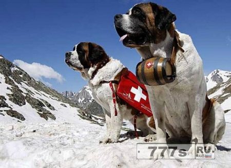 Собаки спасатели.
