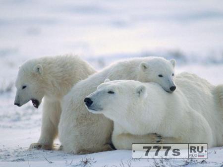 О белых медведях.