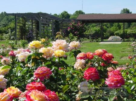 Розы на даче.