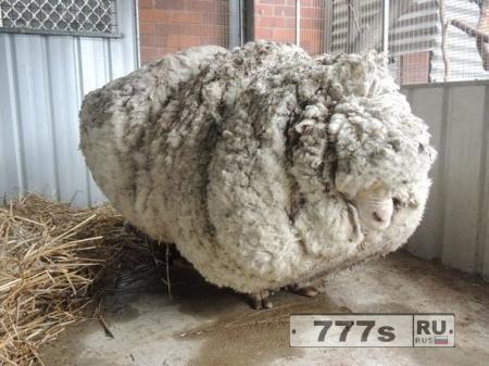 В Австралии удалось помочь овце, освободив ее от 40 кг лишнего веса