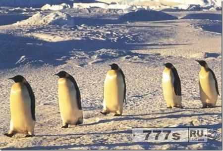 Пингвины.