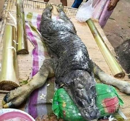 Теленок с головой крокодила