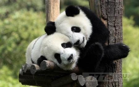 В Великобритании собираются клонировать больших панд