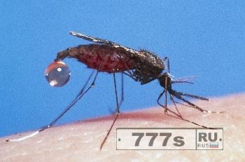 Малярийный комар.