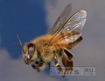 Гибридная пчела.