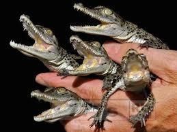 В Ростове-на-Дону живут крокодилы