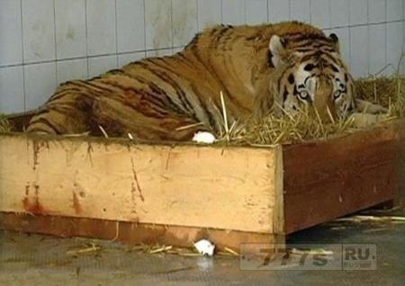 И у тигров бывают депрессии