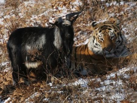 О козле и тигре.