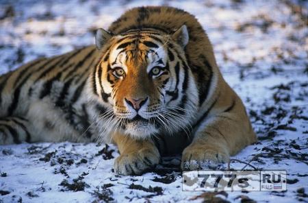 Амурский тигр отомстил обидчику