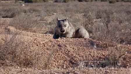 Вомбатов изучают с помощью радаров