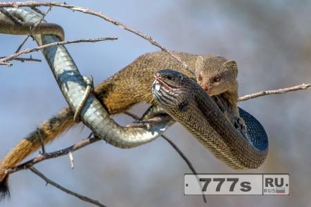 Для мангуста это семечки