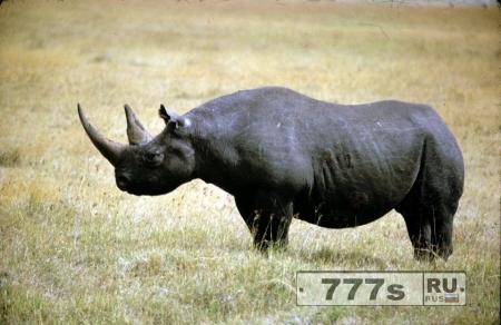 Носорог защищает свою территорию