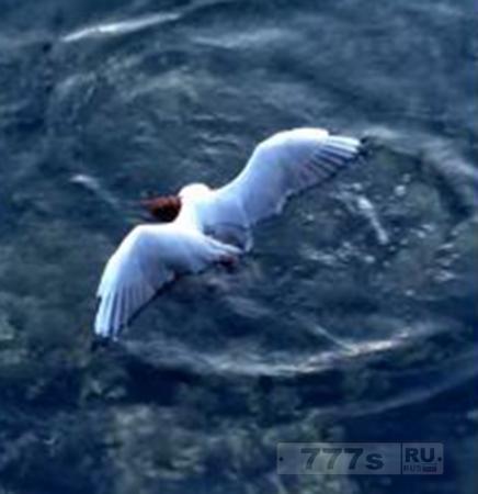 Осьминог утопил чайку