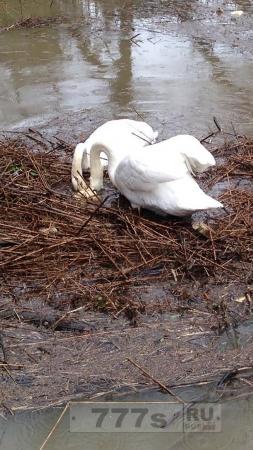 Родители лебеди отчаянно искали яйца, которые смыл паводок