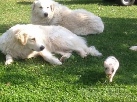 Пенелопа, поросенок, но уже почти щенок