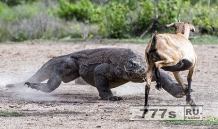 Козла сожрали драконы Комодо, как в Парка Юрского периода