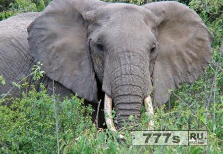 В лесных массивах Украины ищут африканского слона