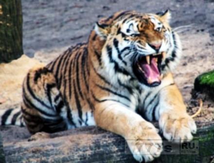 Войти в клетку с тигром – риск ради удачного снимка