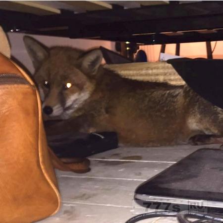 Молодая пара обнаружила лисицу у себя под кроватью