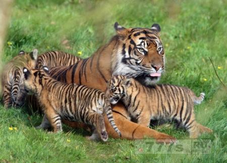 Все думали, что тигры вымрут к 2022 году, а они наоборот