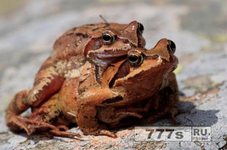 Инспектор по охране животных определил, что лягушки просто занимаются сексом