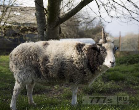 Этот восхитительный однорогий баран является реальным «овцерогом»