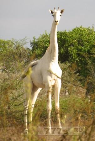 Жирафа забыли раскрасить