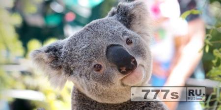 Живой уголок: пять занятных фактов о коалах