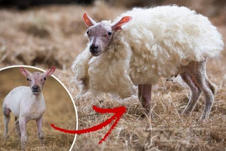Ягненок родился без шерсти, работница фермы подарила ему тулуп