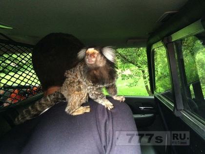 У водителя сидела обезьянка на спине, даже когда его арестовывали