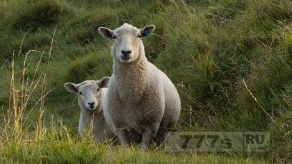 Овцы «вызывают беспорядки» в Уэльсе