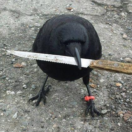 Нож с места преступления в Ванкувере украл ворон Чанук.
