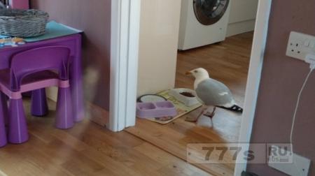 Чайка приходит в ваш дом, и ест ваши печеньки