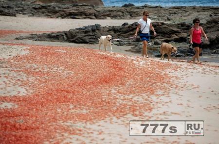 Тысячи крошечных красных рачков покрыли пляжи Калифорнии