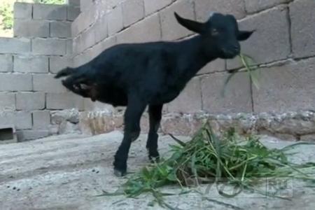 «Половина козы» родилась без каких-либо задних конечностей