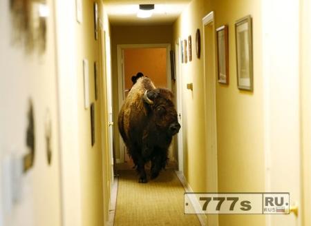 Женщина из Техаса продает бизона, который «вламывается в квартиры»