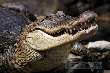 Нвости: пенсионер отбивался от крокодилов несколько часов