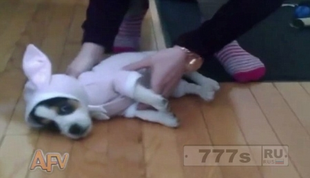 Прелестный щенок в костюме кролика не хочет его носить, как ребенок