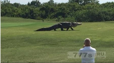 Огромный аллигатор ошеломляет игроков в гольф, когда он проходит по полю для гольфа