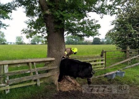 У коровы голова застряла в дереве