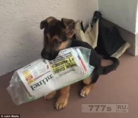 Маленький щенок немецкой овчарки пытается изо всех сил, чтобы принести газету