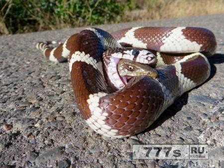 Эта ящерица выжила, проглоченая змеей - так что никогда не сдавайтесь