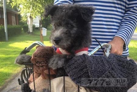 Pumi официально новая порода собак; они пушистые и очаровательные