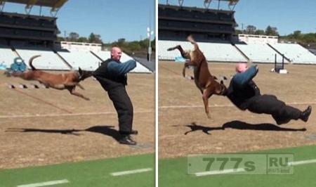 Полицейская собака на учениях подбрасывает преступника в воздух и бросает его на землю