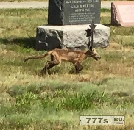 Зомби собака? Койот? Непонятное животное видели на кладбище