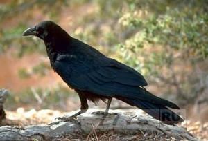 Живой уголок: новокаледонские вороны снова приятно удивили ученых