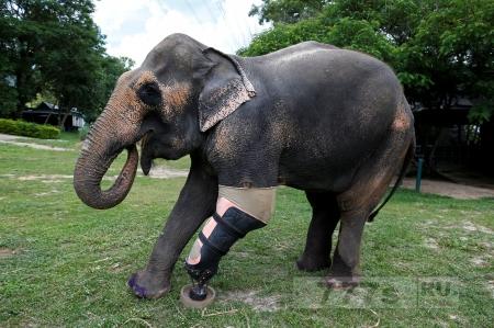 Слониха искалеченая взрывом использует современный протeз