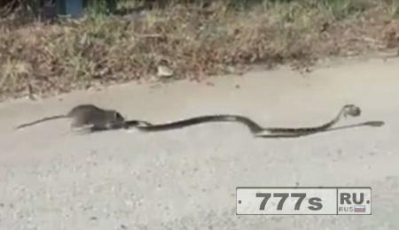 Крыса мать спасает своего крысенка из пасти голодной змеи