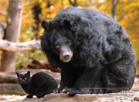 Бродячая кошка и черный медведь приятели в Калифорнийском зоопарке