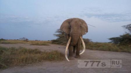 Слон ищет помощи человека, чтобы удалили торчащее копье.